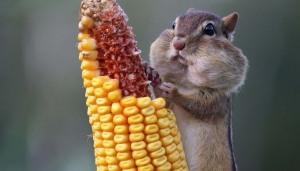 funny chipmunk eating corn