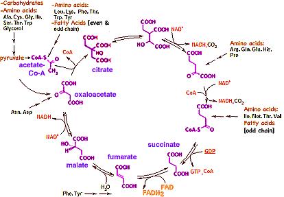 krebbs-cycle